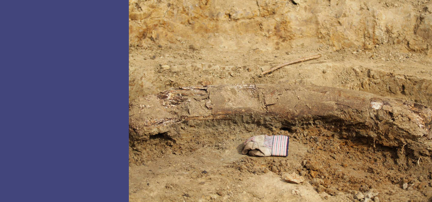 A partial woolly mammoth tusk discovered at a dig in Southeast Iowa. Photo by Frank A. Weirich