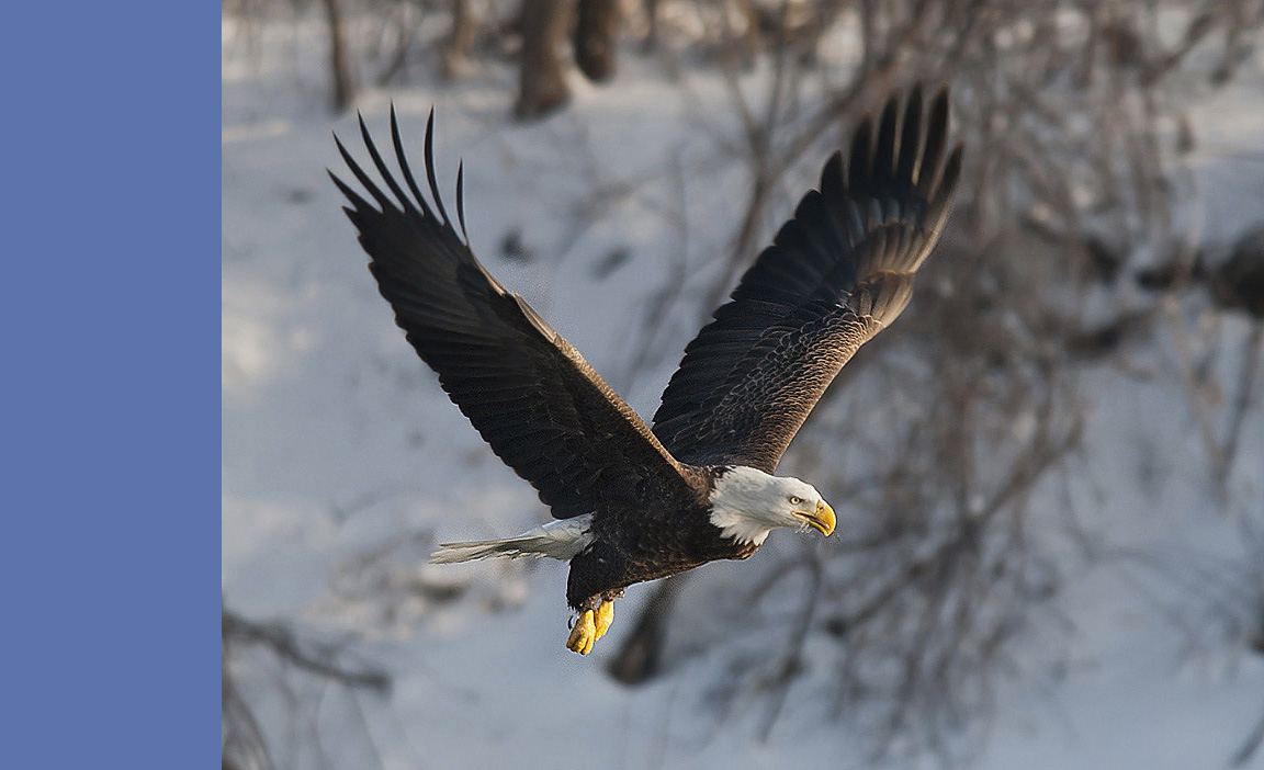 An bald eagle in flight.