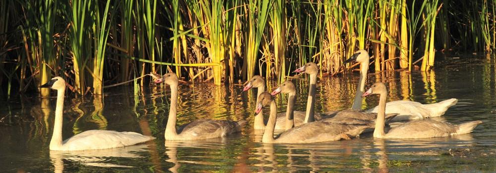 A trumpeter swan family enjoys a wetlands habitat. Photo by USFWS Mountain-Prairie