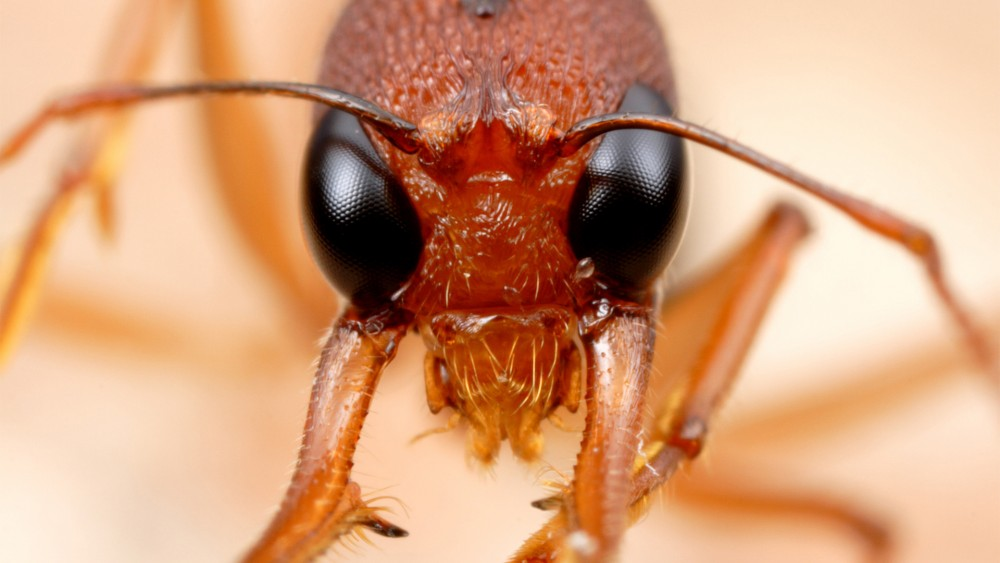 NEW YORK, NY- Extreme close-up of Harpegnathos saltato, A.K.A the Indian Jumping Ant. (Photo Credit: National Geographic Channels/ Alex Wilde)